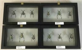 Insect Entomology Lot Collection 36pc Specimen Scorpion Lantern Fly Beetle image 11