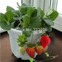100 Potted strawberry seeds vegetable seeds to grow vegetables seasonal fruits - $5.99