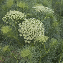 Green Mist Organic Ammi Flower Seed - $8.99