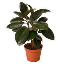 """1 Live Plant - Ficus Elastica 'Burgundy 6"""" Pot #HPS13 - $57.99"""