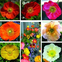 1000 Mix Color Iceland Poppy Seeds Garden Flowers - $3.75