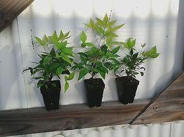 Dwarf Nandina Firepower 10 plants image 3