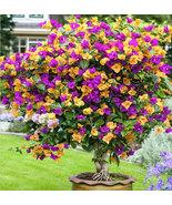100 Seeds Crepe Myrtle Crape seed Purple yellow Lagerstroemia seeds - $3.79