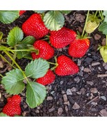 10 Bare Root - Organic Seascape Strawberry Plants - Non GMO Chemical Free - $22.49