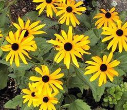 50 Mini Yellow Blackeyed Daisy Flower Seeds - $7.99