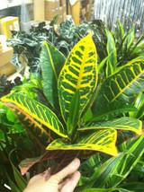 """CROTON - PETRA - LIVE PLANT - 3"""" POT - 1 PLANT - MULTI COLOR - $9.80"""