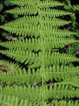 5 Hay Scented Fern clumps(Dennstaedtia punctilobula) image 4