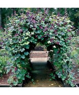 SHIP From US Hyacinth Bean Vine Seeds (Dolichos Lablab) 10+Seeds UTS2 - $20.99