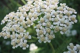 9283 pcs/pkt Common Yarrow Tree Seeds For Planting - $22.77