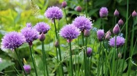 Chive Seeds | Common Chive Seeds | Chive Herb Seeds | 100 seeds - $18.01