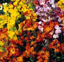 English Wallflower Mix Seeds. 7800 seeds, or 1/2 oz - $16.98