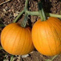 30 seed of Pumpkin Fruit Small Sugar - $17.70