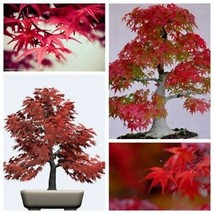 1 Pack 20 Maple Tree Seeds Easy Grown Perfect Ornamental Bonsai Tree See... - $2.00