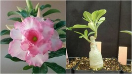Pink White Mixed Desert Rose Adenium Grafted Plant Outdoor Living - $88.95
