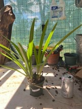 Cymbidium Spark Sprite 'Sparkey' Orchid Plant Blooming Size Warm Grower 0512 V image 2