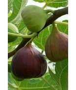ALMA FIG TREE Live Plant Fruit Trees Healthy Figs Plants Home Garden Orc... - $95.94