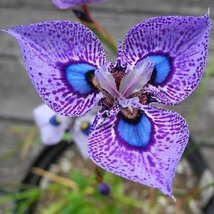 Phalaenopsis Butterfly Orchid Seeds Flower Seeds,Orchid Plants, 200 pcs ... - £9.89 GBP