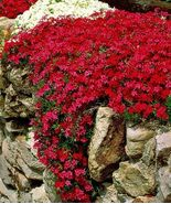 USA red creeping phlox 25 to 200 seeds (butterfly garden) (ground cover) - $6.99 - $24.00