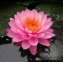 Heirloom Pink Multi-pedaled Nelumbo Nucifera Pond Lotus Flower Seed 1Seed / Pack - $5.90