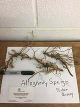 ALLEGHENY  SPURGE 10 roots ,(Pachysandra procumbens) image 5