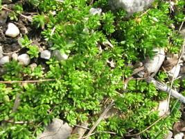 Creeping Sedum Plants Groundcover Perennial 80 plants ground cover - $8.89