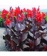 100 PCS Rare Purple Leaf Canna Lily Seeds Bonsai Flower Seed Home Garden... - $2.12