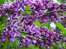 """9-14"""" - Potted Plant The Most Fragrant Lilac - PURPLE OLD FASHION LILAC ... - $39.60"""