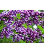 "9-14"" - Potted Plant The Most Fragrant Lilac - PURPLE OLD FASHION LILAC BUSH - $39.60"