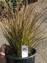 Live Plant Orange Carex -  Burnt Orange Sedge Grass - $11.88