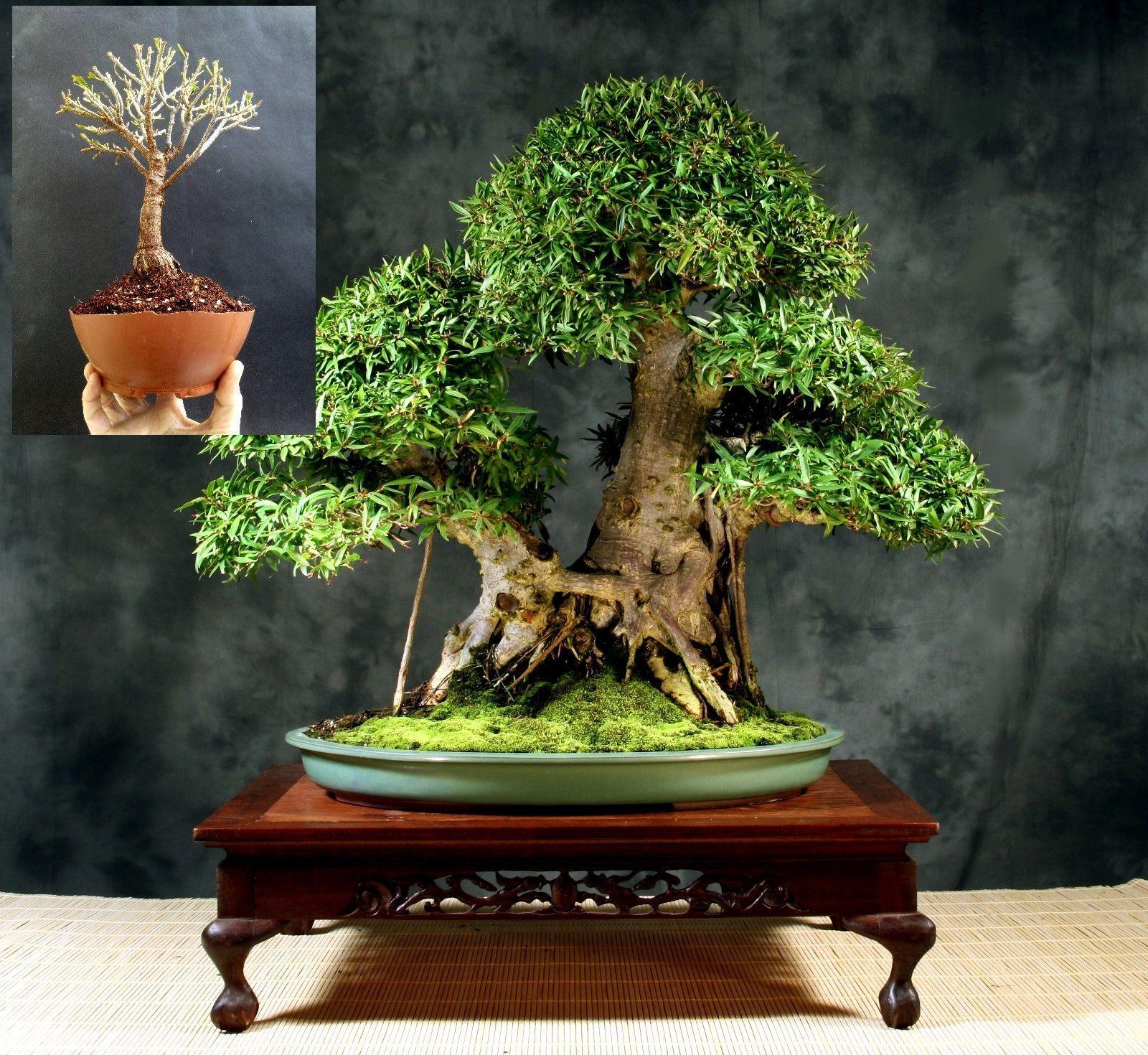 Bonsai Ficus Nerifolia Self Design And 50 Similar Items