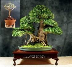 Bonsai Ficus Nerifolia - Self Design - Plant+Wires for Design - $129.50