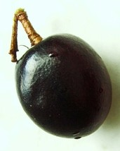 COCOPLUM FRUIT Chrysobalanus icaco sweet exotic tropical plum edible seed 5 SEED - $7.99