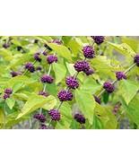 Starter Plant Callicarpa Americana Beautyberry - $21.77