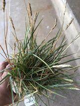 "Houseplant Sesleria heufleriana 'greenlee' - Live Plant In 4"" Pot tkgc - $43.00"