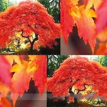 20 Seed Flame Amur Maple with Bright Red Leaves Seeds, DIY Beautiful Tre... - $8.99