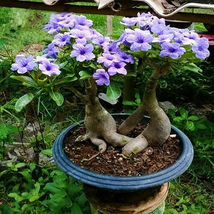 Rare Purple Desert Rose Bonsai Plant Tree House Herb Garden Flower Decor - $14.88