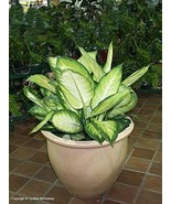 """Camille Dieffenbachia Live Plant Fit 4"""" Pot - $4.94"""
