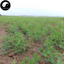 Buy Astragalus Seeds 400pcs Plant Medicinal Herb Radix Astragali For Hua... - $15.99