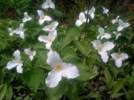 White Trillium 5 bulbs Wood Lily image 5