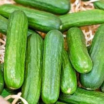 30+MUNCHER CUCUMBER Seeds Organic Non-Gmo Award Winner Garden/Patio Cont... - $2.50