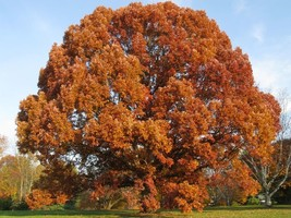 White Oak Tree-(quercus alba) image 2