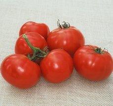 1000 Seeds of Oregon Spring V - Tomatoes Early Season - $48.02