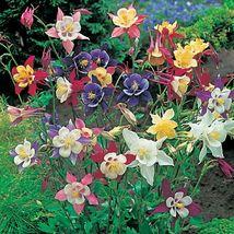 50 Mckana Mix Columbine Flower Perennial Seeds #STL17 - $15.17