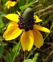 SHIP FROM US 300 Seeds Clasping Coneflower,DIY Decorative Garden Plant AM - $51.99