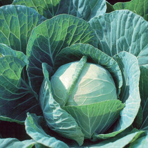 Farao Organic Cabbage Seed Seed ,Vegetable Seeds, Ship From US - $15.00