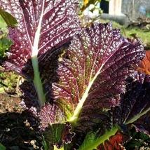 30 Seeds Purple Mustard Seed Brassica Juncea Delicious Vegetable Seeds - $13.58