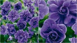 117 - 10 Double Purple Geranium Seeds Flowers Perennial Flower Seed – RR01 - $21.95
