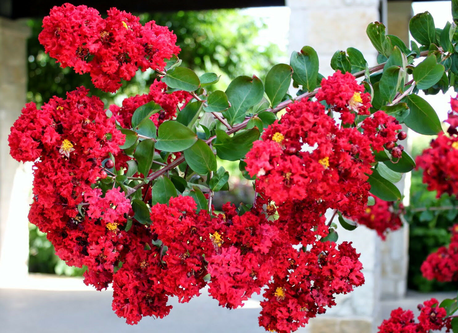 Primary image for Established Rooted Dynamite® Crape Myrtle 1 Plant in Gallon Pot