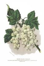 Seed Catalog: White Grape Currant - Seneca Seed Catalog - 1893 - $12.95+