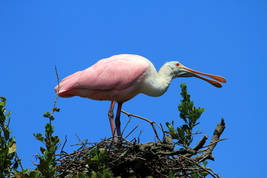 Roseate Spoonbill 13 x 19 Unmatted Photograph - $35.00